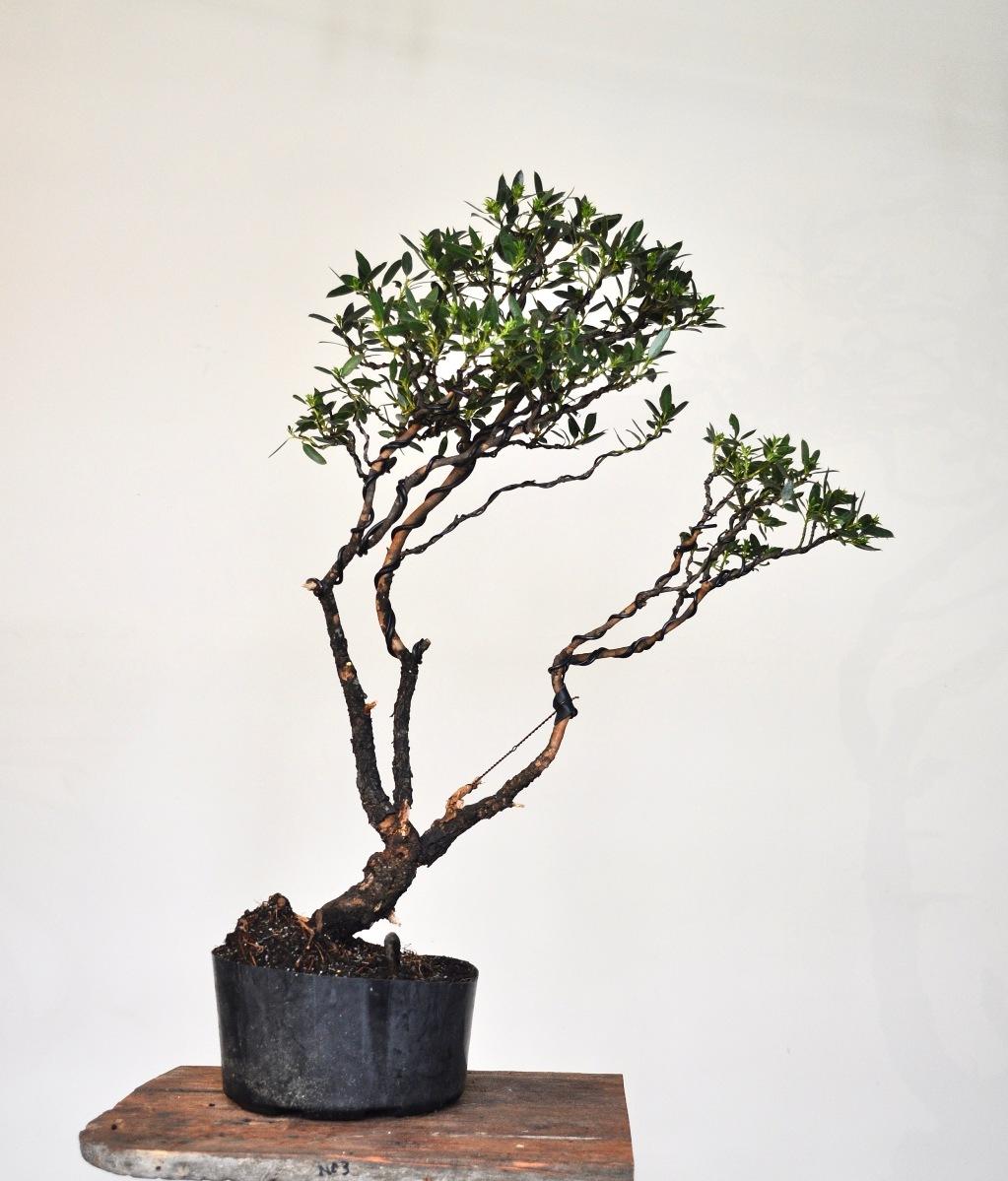 The Smallest Eucalyptus In The World Montane Bonsai